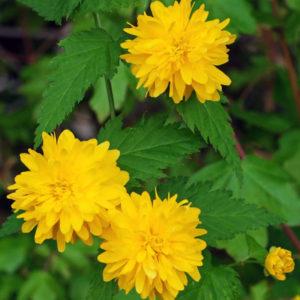 Керрия японская «Pleniflora» - Kerria japonica «Pleniflora»