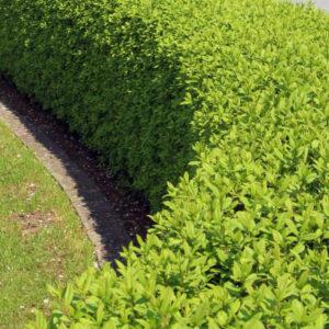 Бирючина обыкновенная «Atrovirens» - Ligustrum vulgare «Atrovirens»
