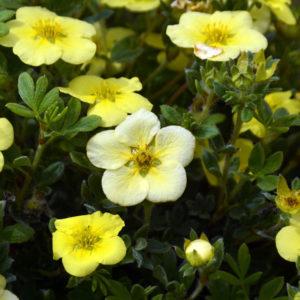 Лапчатка кустарниковая «Katherine Dykes» - Potentilla fruticosa «Katherine Dykes»