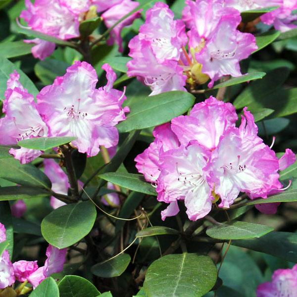 Рододендрон гибридный «Blurettia» - Rhododendron «Blurettia»