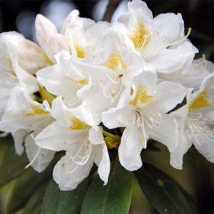 Рододендрон гибридный «Cunningham's White» - Rhododendron «Cunningham's White»