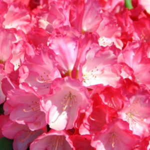 Рододендрон гибридный «Fantastica» - Rhododendron «Fantastica»
