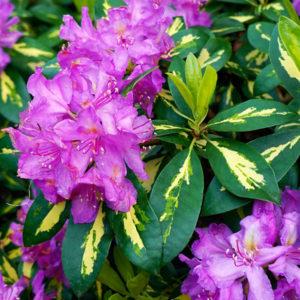 Рододендрон гибридный «Goldflimmer» - Rhododendron «Goldflimmer»