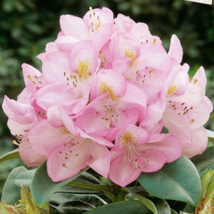 Рододендрон гибридный «Gomer Waterer» - Rhododendron «Gomer Waterer»