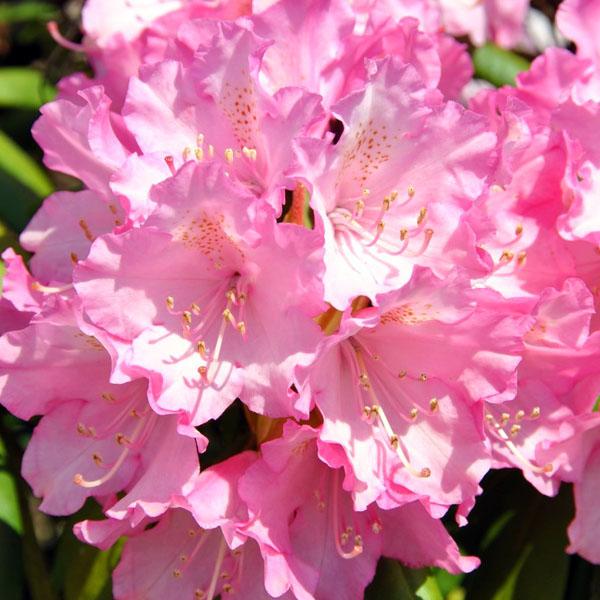 Рододендрон гибридный «Kalinka» - Rhododendron «Kalinka»