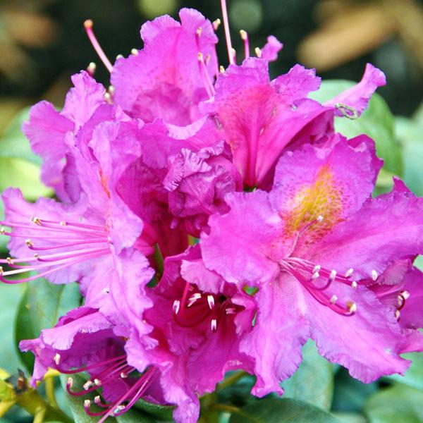Рододендрон гибридный «Libretto» - Rhododendron «Libretto»