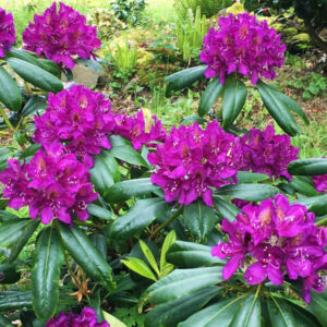 Рододендрон гибридный «Marcel Menard» - Rhododendron «Marcel Menard»