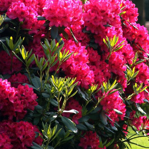 Рододендрон гибридный «Nova Zembla» - Rhododendron «Nova Zembla»
