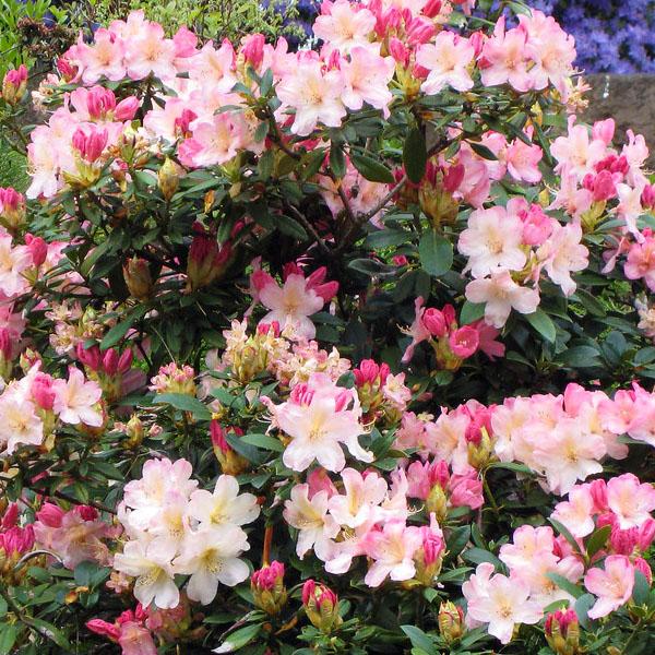 Рододендрон гибридный «Percy Wiseman» - Rhododendron «Percy Wiseman»