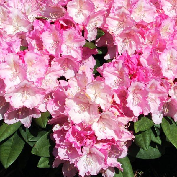 Рододендрон гибридный «Polaris» - Rhododendron «Polaris»