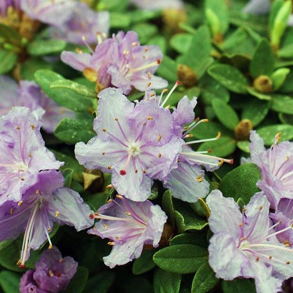 Рододендрон плотный «Ramapo» - Rhododendron impeditum «Ramapo»