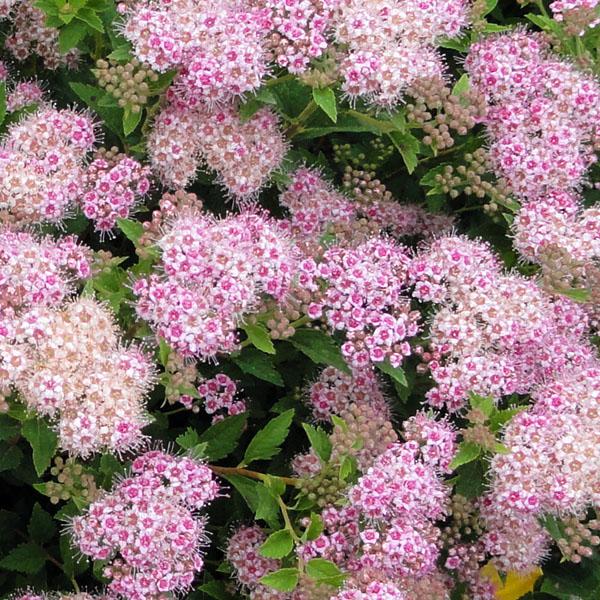 Спирея японская «Nana» - Spiraea japonica «Nana»