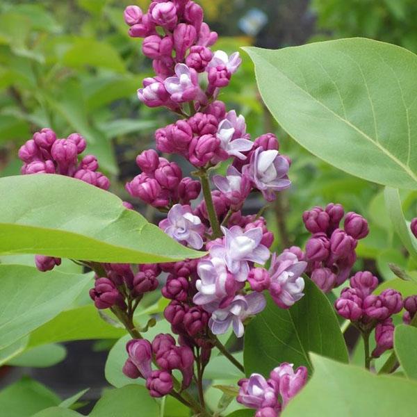 Сирень обыкновенная «Belle de Nancy» - Syringa vulgaris «Belle de Nancy»