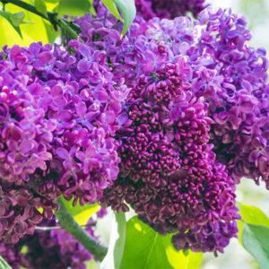Сирень обыкновенная «Charles Joly» - Syringa vulgaris «Charles Joly»