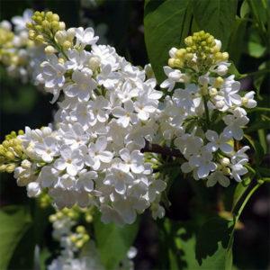 Сирень обыкновенная «Madame Lemoine» - Syringa vulgaris «Madame Lemoine»