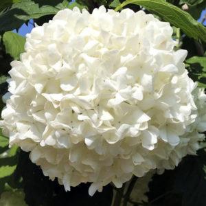 Калина обыкновенная «Roseum» - Viburnum opulus «Roseum»