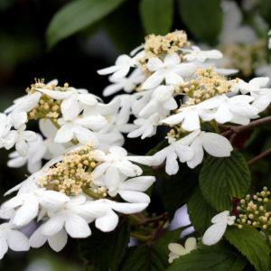 Калина складчатая «Watanabe» - Viburnum plicatum «Watanabe»