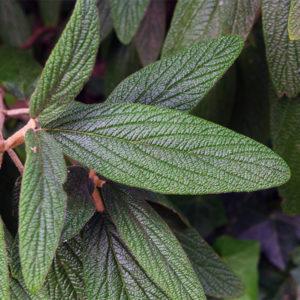 Калина морщинистолистная - Viburnum rhytidophyllum