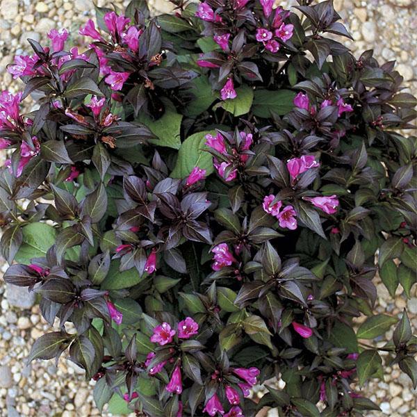 Вейгела цветущая «Elvera» - Weigela florida «Elvera»