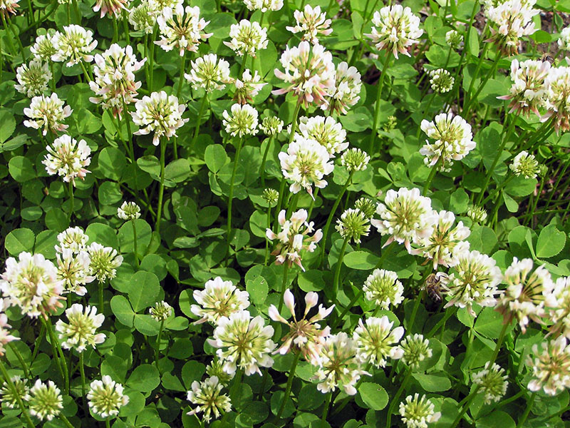 Клевер ползучий - Trifolium repens