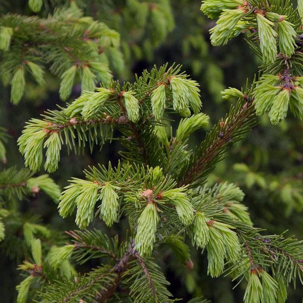 Ель сибирская - Picea obovata