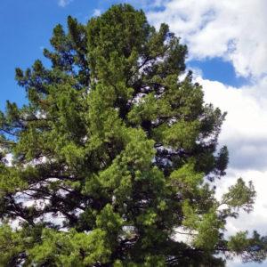 Сосна сибирская кедровая - Pinus sibirica