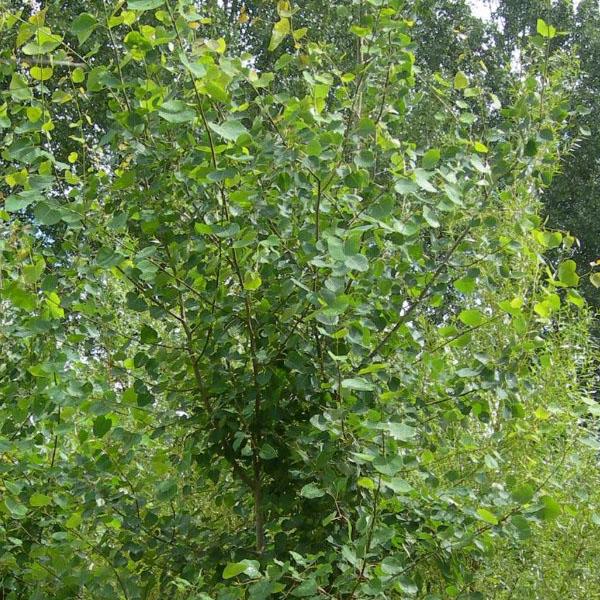 Осина обыкновенная - Populus tremula
