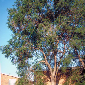 Вяз приземистый - Ulmus pumila